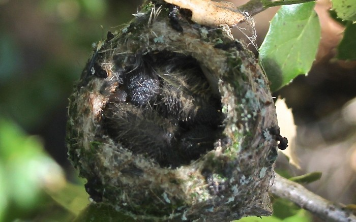 hummingbird nest 2.jpg